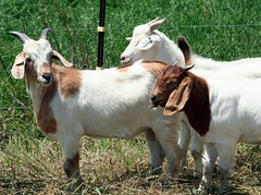 Goats from the 2007 test