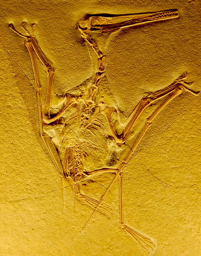 Pterodactyl Fossil