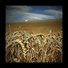 before harvest (Paul Petruck) Tags: blue summer sky nature field landscape corn grain harvest rye 1000views 500x500 superaplus aplusphoto superhearts