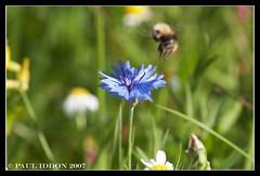 Coming in too fast!!! (Paul Iddon (www.pauliddon.co.uk)) Tags: flower macro crash bee landing brakes toofast naturesfinest iddon naturewatcher