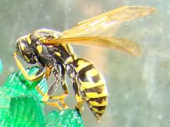 Wasp Attack (sniderscion) Tags: canada black macro yellow closeup danger scott insect wings wasp sony eek stinger yellowjacket inthebedroom snider dsch7 sonydsch7 buzznbugz sniderscion scottsnider