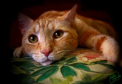 Pretty As A Picture Spotlight Portrait (Chris C. Crowley) Tags: cats pets animals priceless digitalart pillow squeegee petportraits anawesomeshot onlythebestare adorablecritters thelitterbox photoartt catsuluv