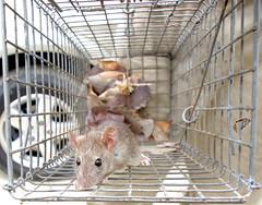 Sova?a Rato