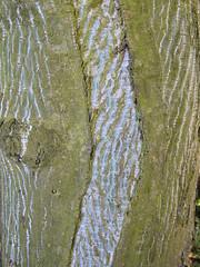 Mind the Gap (talltinymoos) Tags: tree dundee bark lichen
