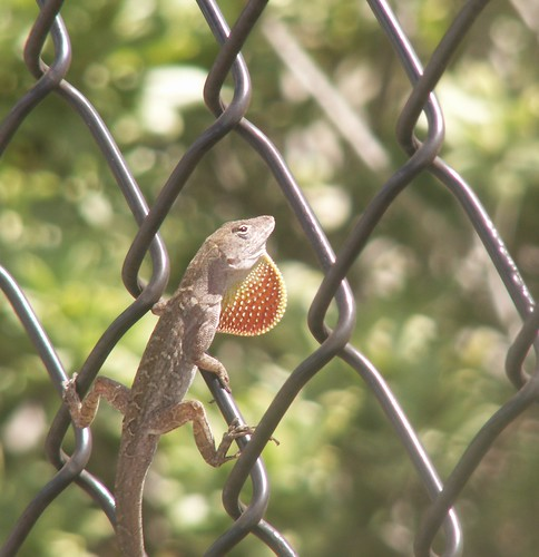 Deep Throat: Male Brown Anole