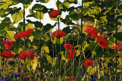 Pavots, Charlevoix (Atelier Sol) Tags: canada qubec poppies charlevoix pavots