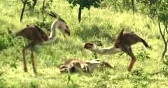 27 terror birds eat loser bro