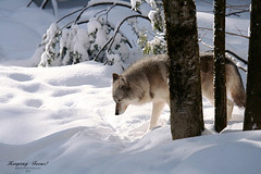 The Lone Wolf (Imapix) Tags: winter snow canada art nature animal canon photography photo wolf alone foto photographie image quebec hiver omega tracks qubec lone lobo loup neige soe pistes imapix gaetanbourque colorphotoaward aplusphoto 100commentgroup imapixphotography gatanbourquephotography