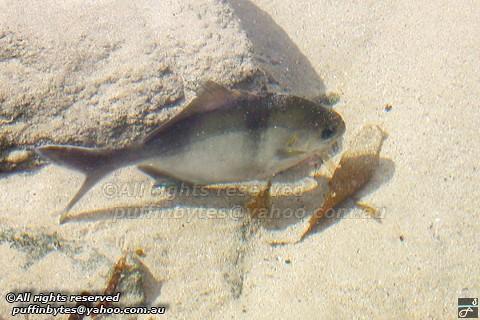 Sea Sweep - Scorpis aequipinnis