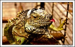 Cheeky Iguana (Gib Rock Photography) Tags: green nature animal canon geotagged eos eyes reptile lizard iguana toungue amphibians canoneos davidreyes 1000d gibraltarnature