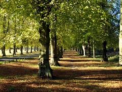 Clumber Park Lime Trees (saxonfenken) Tags: autumn tree leaf derbyshire superhero thumbsup limes bigmomma gamewinner 6981 challengeyou challengeyouwinner friendlychallenges thechallengefactory callengefactory yourock1stplace gamex2winner herowinner pregamewinner 25thoctclumber clumberavenue 6981trees