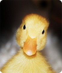 My name is Lucas, Pato Lucas (prixtina) Tags: cute yellow canon duck 100mm pato 100 28 canon100m