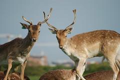 curious deer - by dafuriousd