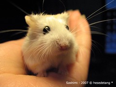 """You want me to model again!??"" Sashimi (hesedetang *) Tags: animals sashimi explore hamster mammals rodents hamsters dwarfhamsters pocketpets roborovskihamsters roborovskidwarfhamsters myphotosonexplore"