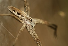 Nursery web spider - by nutmeg66