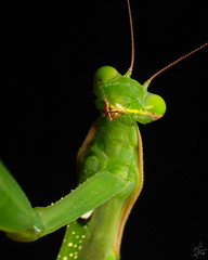 Praying mantis / Mante religieuse - by Eric Bégin