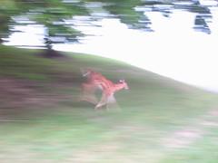 go deer go!