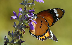 Butterfly on Salvia (David Lev) Tags: plants flower macro butterfly insect searchthebest mygarden parkstock nirim flickrsbest mywinner 1on1allbugs superbmasterpiece flickrelite