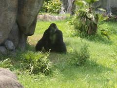 Busch Gardens Primate House - Silverback again