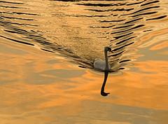 Sailing By (Vintage Red) Tags: reflection water swan yorkshire leeds breathtaking riveraire naturesfinest anawesomeshot diamondclassphotographer megashot theperfectphotographer