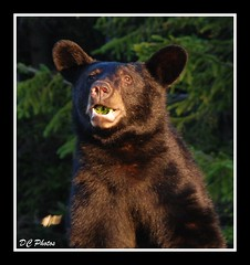 WV Black Bear (Denzil C) Tags: bear animal wildlife wv upclose blackbear photostosmileabout thebestpool denzilwv