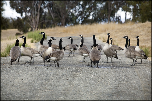 out walking my geese