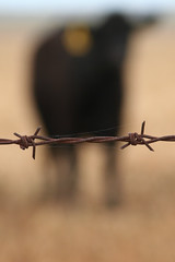 Barbed wire with cow (Catherine Ryan) Tags: cow explore barbedwire barb barbwire foreground