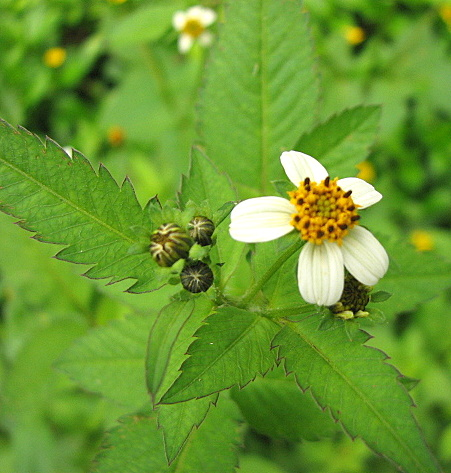 un id wildflower (very common)
