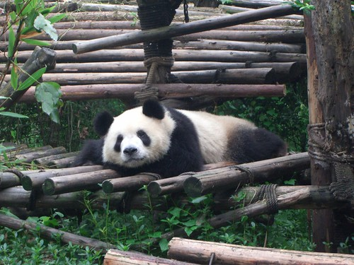 Resting Panda - Panda Research Centre, Chengdu by avlxyz.