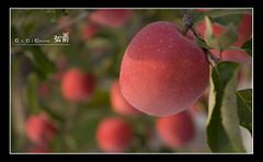 200810_hirosaki_073_f_s (C_C_C) Tags: red apple japan hirosaki