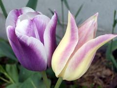 Tulip_5510d