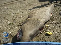 cmaximus24 (Tiburones Chile) Tags: chile peregrino diversidad biodiversidad especieamenazada tiburonperegrino sabiasquedescubre