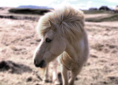 Icelandic Horse (Karnevil) Tags: horse animal iceland