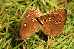 """Ringlet Butterfly (Aphantopus hyperantus) Mating • <a style=""""font-size:0.8em;"""" href=""""http://www.flickr.com/photos/57024565@N00/715048127/"""" target=""""_blank"""">View on Flickr</a>"""