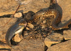 Snake Swallowing Fish (rohini_kamath) Tags: copyright fish reptile snake lalbagh rohini kamath ifornature rohinikamath