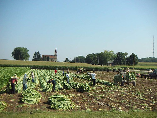 Wisconsin Tobacco Harvest