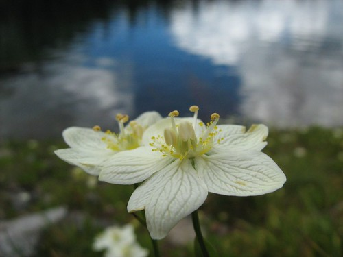 20070830 Grass-of-Parnassus