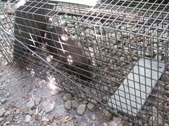 Bad mink 2