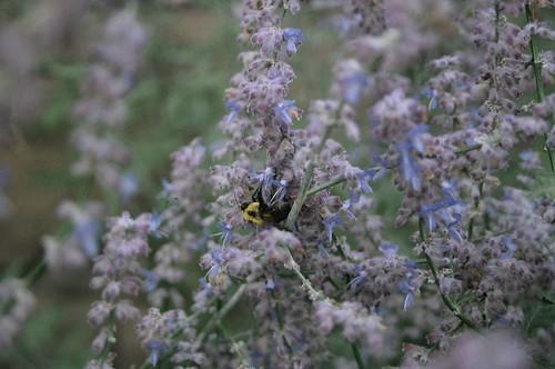 une abeille dans la lavande