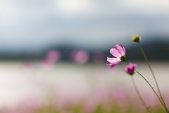 A Perfect Day (Luis Montemayor) Tags: pink lake flower color colors landscape mexico lago dof bokeh flor rosa paisaje colores explore blume blüte landschaft hidalgo myfavs mexiko naturesfinest cronopioyflor gününeniyisithebestofday