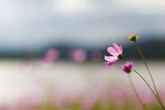 A Perfect Day (Luis Montemayor) Tags: pink lake flower color colors landscape mexico lago dof bokeh flor rosa paisaje colores explore blume blte landschaft hidalgo myfavs mexiko naturesfinest cronopioyflor gnneniyisithebestofday