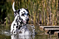 gone fishing (sputnik-) Tags: dog water hund dalmatian hunde doro hundefotos hundebild hundefoto