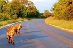 Sunrise in the road (Arno Meintjes Wildlife) Tags: africa wallpaper nature bush wildlife safari hyena rsa krugernationalpark carnivore crocutacrocuta spottedhyena hyaenidae arnomeintjes taxonomy:binomial=crocutacrocuta