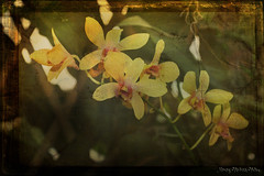 Yellow Orchids in texture (Nancy Violeta Velez) Tags: flower macro texture photography flickr yellowflower orchidaceae frame tubers monocots americanorchidsociety theworldwelivein yelloworchids orchidfamily rhizomatous corms sympodial skeletalmess joessistah nikond5000 floridasparks monopodyal yelloworchidsintexture