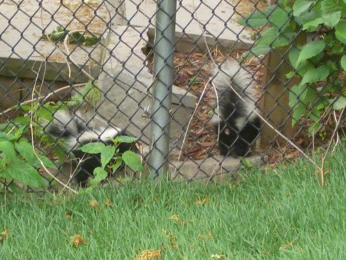 skunk babies showing us their behind