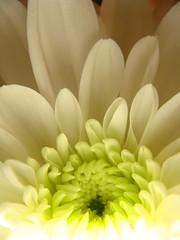 White Chrysanthemum (KJGarbutt) Tags: flowers plants flower macro green leaves closeup garden photography leaf petals sony cybershot kurtis chrysanthemum sonycybershot garbutt kjgarbutt kurtisgarbutt kurtisjgarbutt kjgarbuttphotography