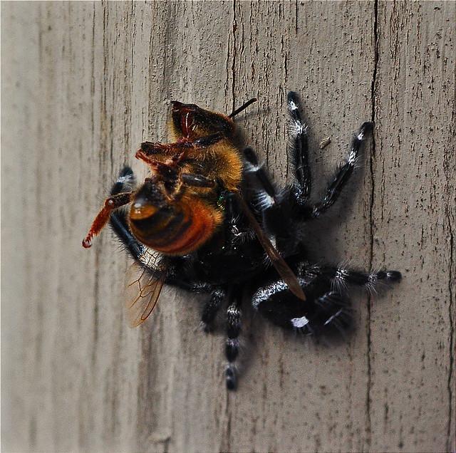 Phidippus audax, Daring Jumping Spider (4)