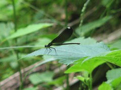 some sort of damselfly