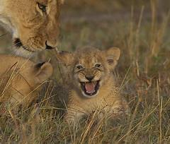 Too Cute (Lyndon Firman) Tags: africa cute cub kenya lion safari mara lioness masaimara peopleschoice supershot specanimal animalkingdomelite impressedbeauty superbmasterpiece beyondexcellence superhearts kichechepride