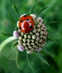 Ladybird on scabious (tina negus) Tags: red fab macro lincolnshire ladybird coolest scabious naturesfinest killerbee greatcapture 35faves masterphotos anawesomeshot wowiekazowie diamondclassphotographer flickrdiamond ishflickr longbennington macroaward exploreunexplored